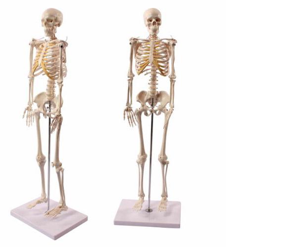 人体骨格模型 直立スタンド付 85cm 1/2モデル
