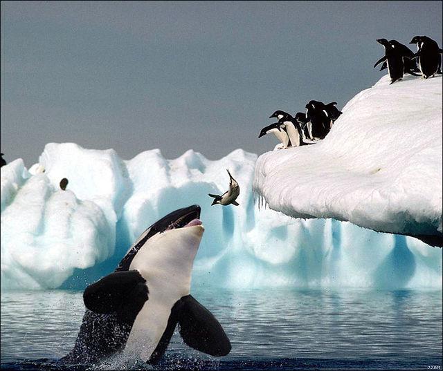 ペンギンとシャチ